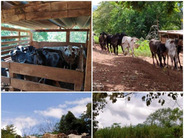 PC prende suspeito de receptação e recupera gado em Serra do Salitre