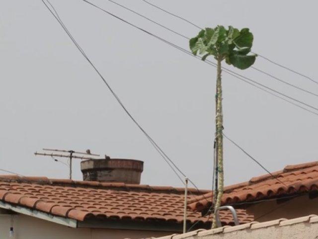Em Patos de Minas, aposentado cultiva pés de couve gigantes