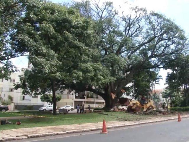 Árvore antiga em praça de Patos de Minas precisou ser cortada